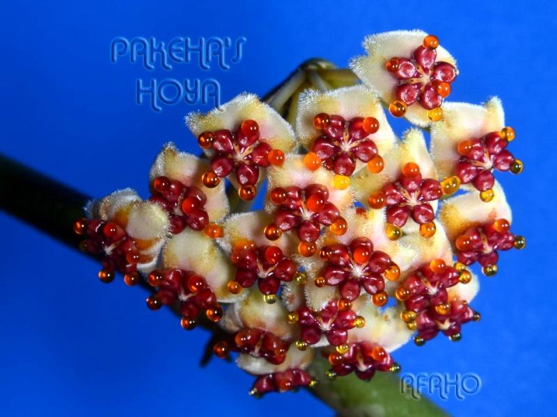 Hoya kerrii Yellow Splash Dsc_2010
