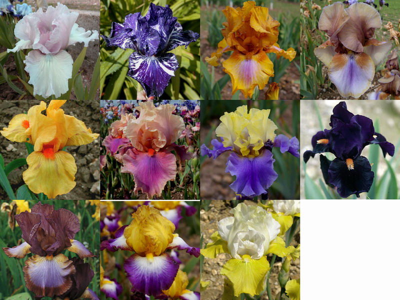 Iris Germanica Ziris210
