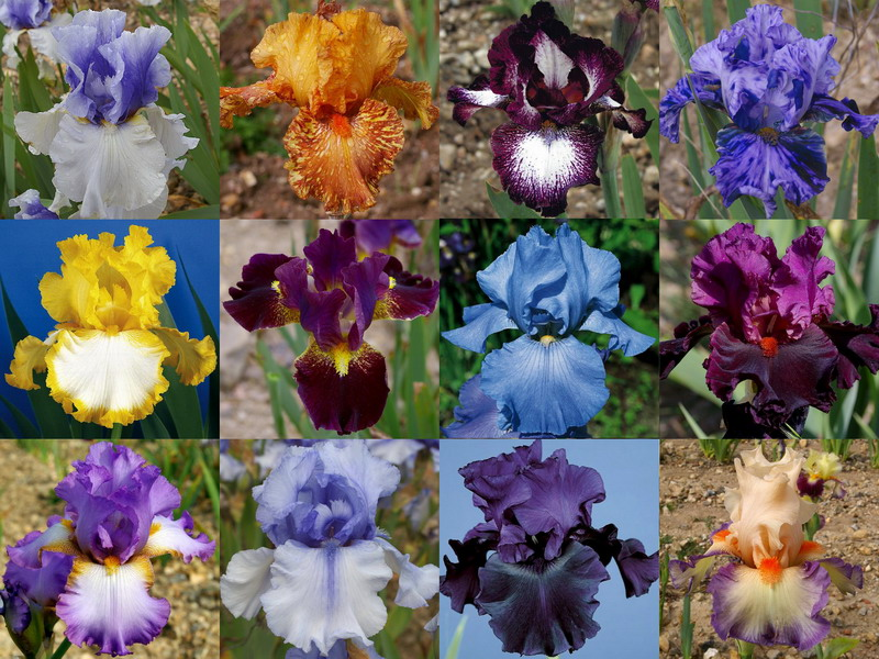 Iris Germanica Ziris211
