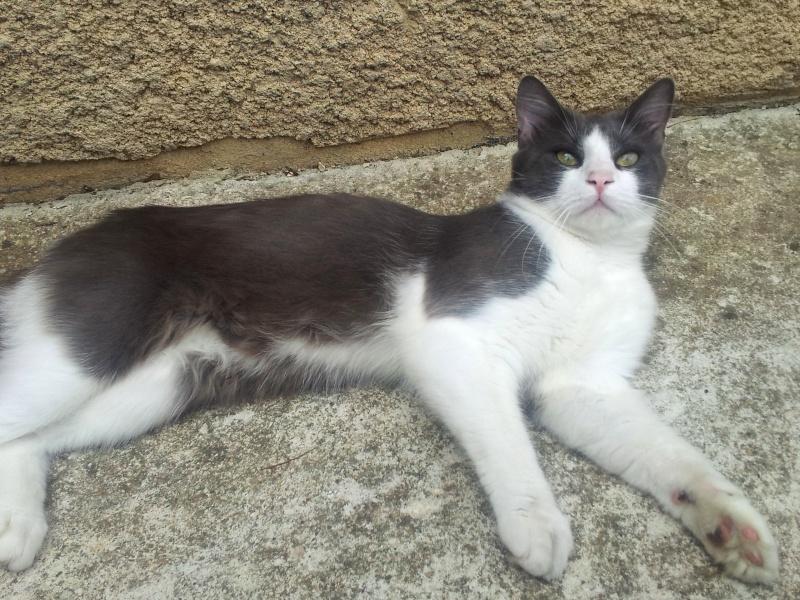Trouvé jeune chat gris et blanc Allée de Lasplanes 20140810