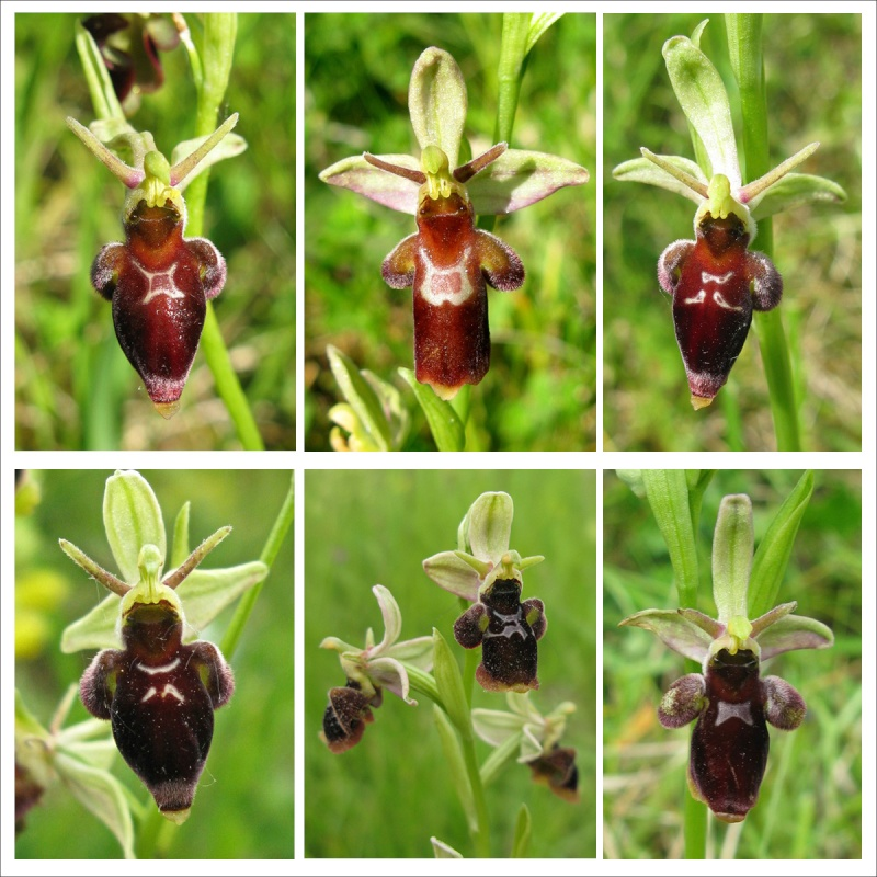 Ophrys insectifera x scolopax (x nelsonii) Nelson10
