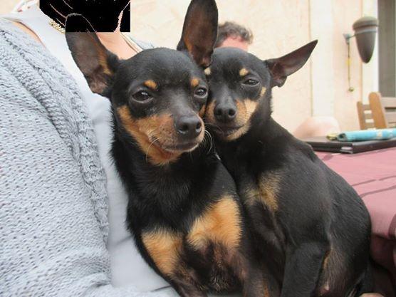 Marla et Junior, 2 adorables ratiers de Prague, adoptables ensemble 10152510
