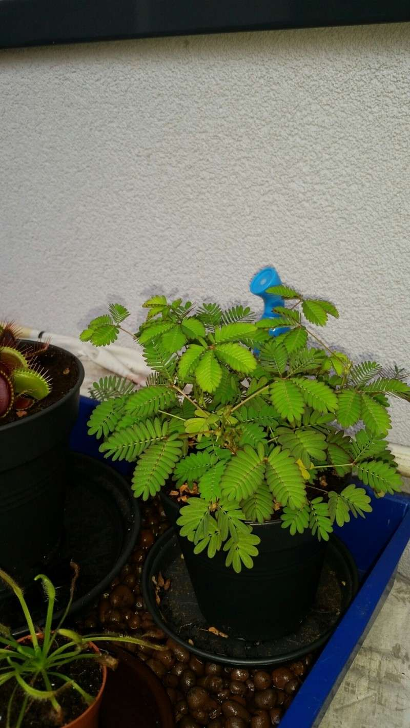 Mimosa Pudica! 2014-113