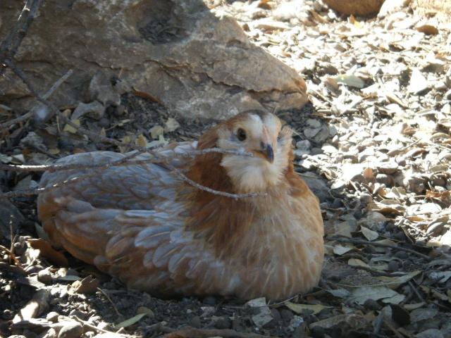poule - EVOLUTION D'UN PIOU ARAUCANA NE SOUS POULE - Page 2 Geroni12