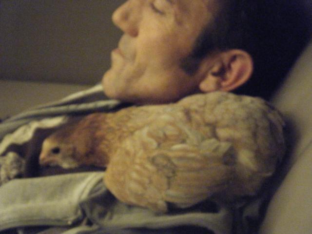 poule - EVOLUTION D'UN PIOU ARAUCANA NE SOUS POULE - Page 2 Geroni13
