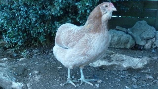 poule - EVOLUTION D'UN PIOU ARAUCANA NE SOUS POULE - Page 3 Geroni15