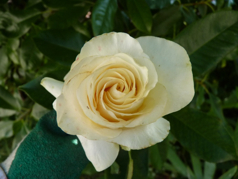 """rosier """"voeux de bonheur"""" P1070978"""