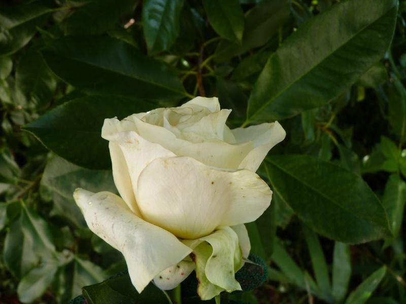 """rosier """"voeux de bonheur"""" P1070979"""