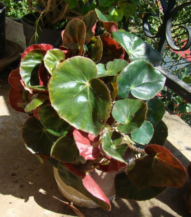 Begonia 'erythrophylla'  fait la tête!!!! Dsc08013