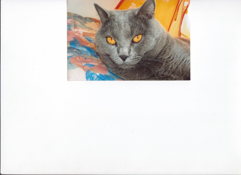 Placement d'un chat Chartreux  adulte LOOF 00310