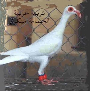 سلالة من التربية العربية    الحمامة ميكري 00-110