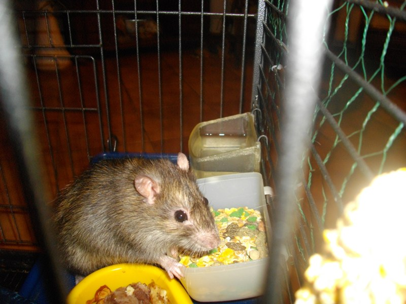BESOIN D AIDE POUR UN RAT - Page 2 Mr_rat10