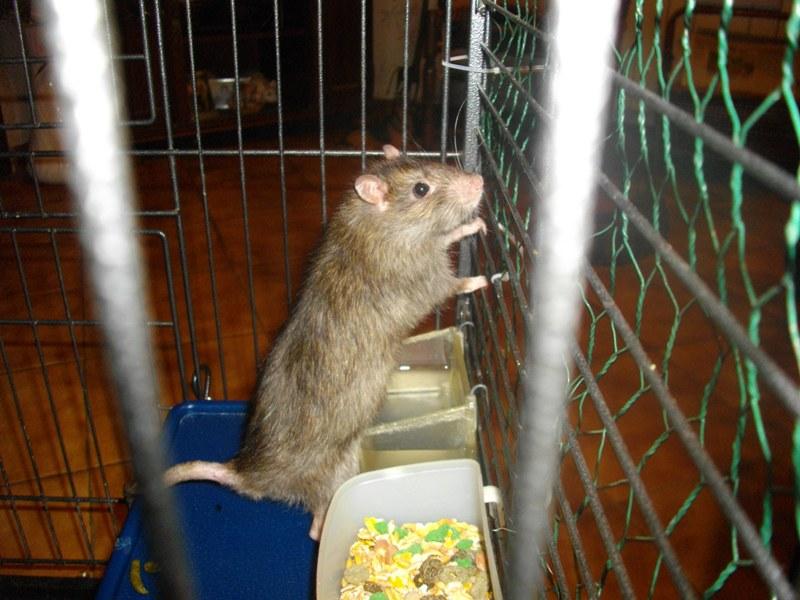 BESOIN D AIDE POUR UN RAT - Page 2 Mr_rat12