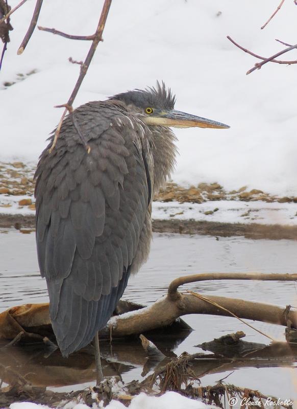Grand héron hivernant sur la rivière Lorette! Grand_11