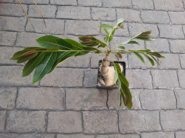 Phyllanthus mirabilis 20140931