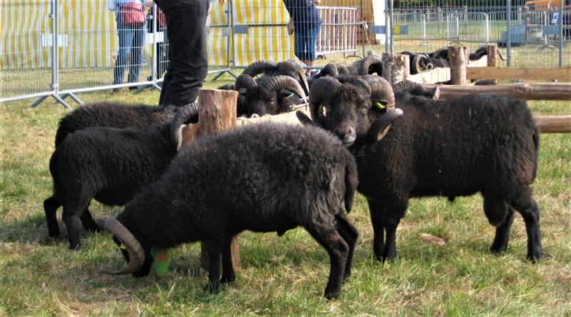 22 septembre 2019 : concours moutons ouessant GEMO dans la Sarthe. Img_2210