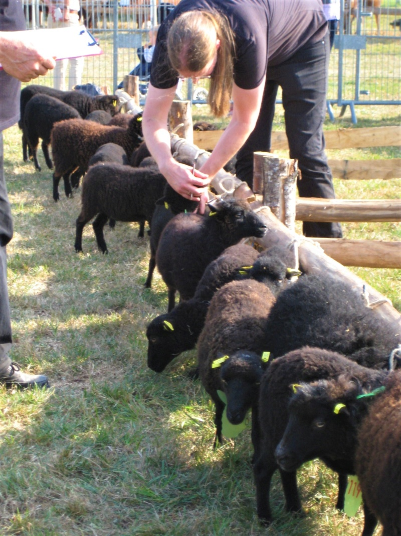 22 septembre 2019 : concours moutons ouessant GEMO dans la Sarthe. Img_2212