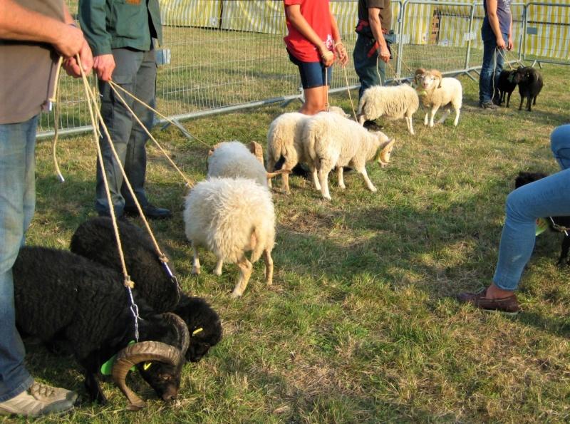 22 septembre 2019 : concours moutons ouessant GEMO dans la Sarthe. Img_2213