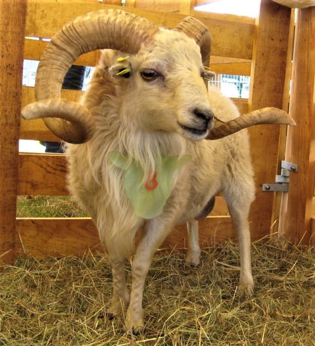 22 septembre 2019 : concours moutons ouessant GEMO dans la Sarthe. Img_2215