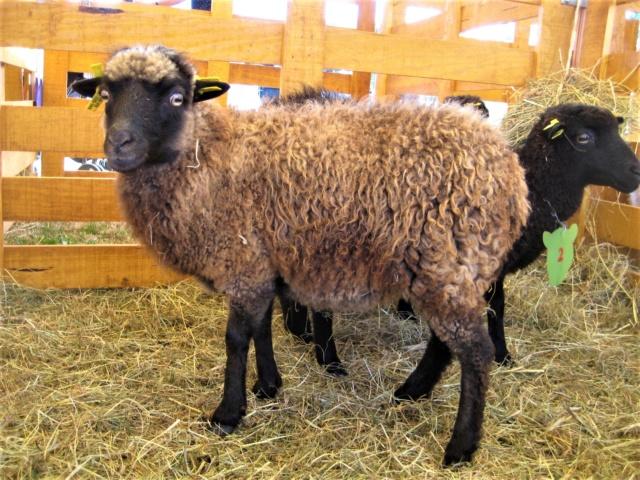 22 septembre 2019 : concours moutons ouessant GEMO dans la Sarthe. Img_2216