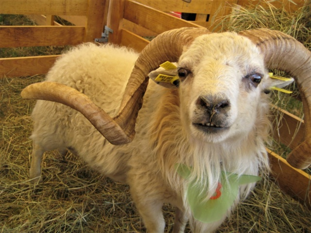 22 septembre 2019 : concours moutons ouessant GEMO dans la Sarthe. Img_2217