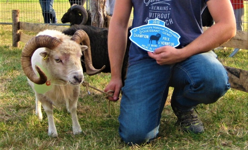 22 septembre 2019 : concours moutons ouessant GEMO dans la Sarthe. Img_2220