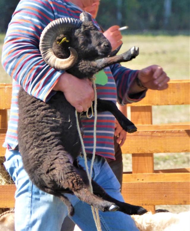 22 septembre 2019 : concours moutons ouessant GEMO dans la Sarthe. P1020412