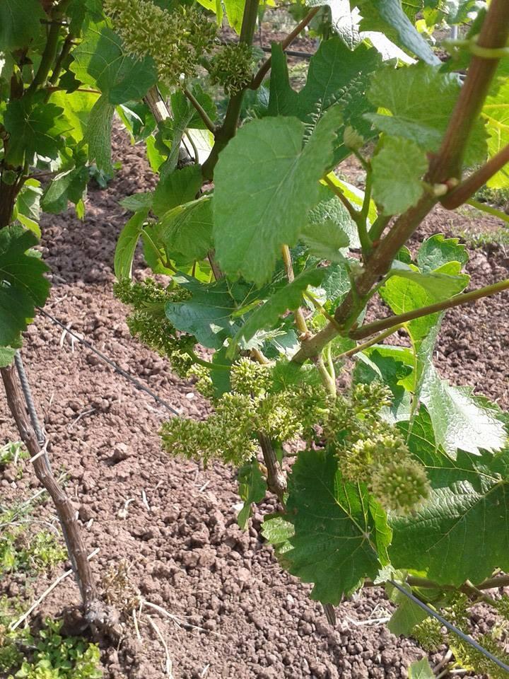 Vins et Crémant d'Alsace Thierry- Martin - Page 4 10371610