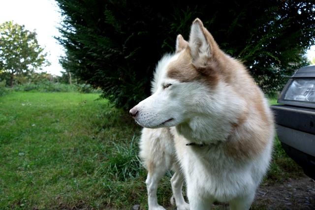 Kerouq, Sibérien Husky, 4 Ans et veut vivre sa vie. Dept 14.ADOPTE Dsc00312