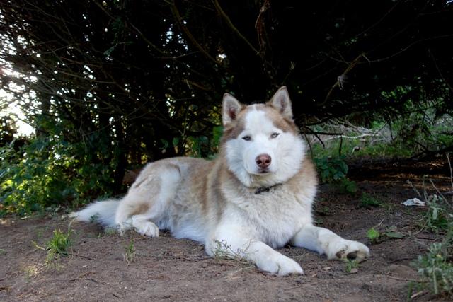 Kerouq, Sibérien Husky, 4 Ans et veut vivre sa vie. Dept 14.ADOPTE Dsc00313