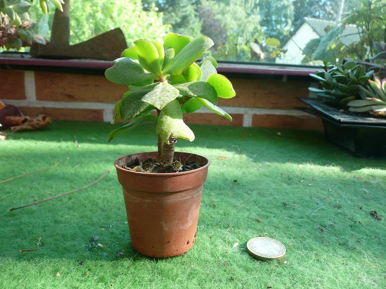 [Crassula arborescens ssp. undulatifolia] Id12_b10