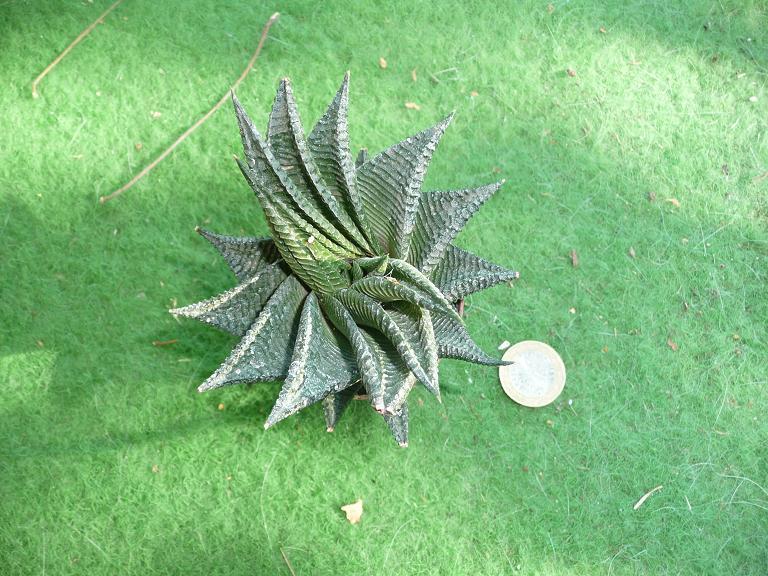 [Haworthia limifolia.] Id13_a10