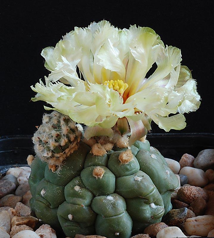 Astrophytum asterias kikko  8010