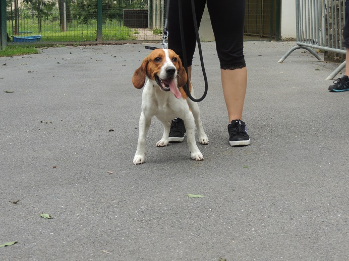Hulky, beagle mâle d'un 1 an et demi, vous attend!  Diman110