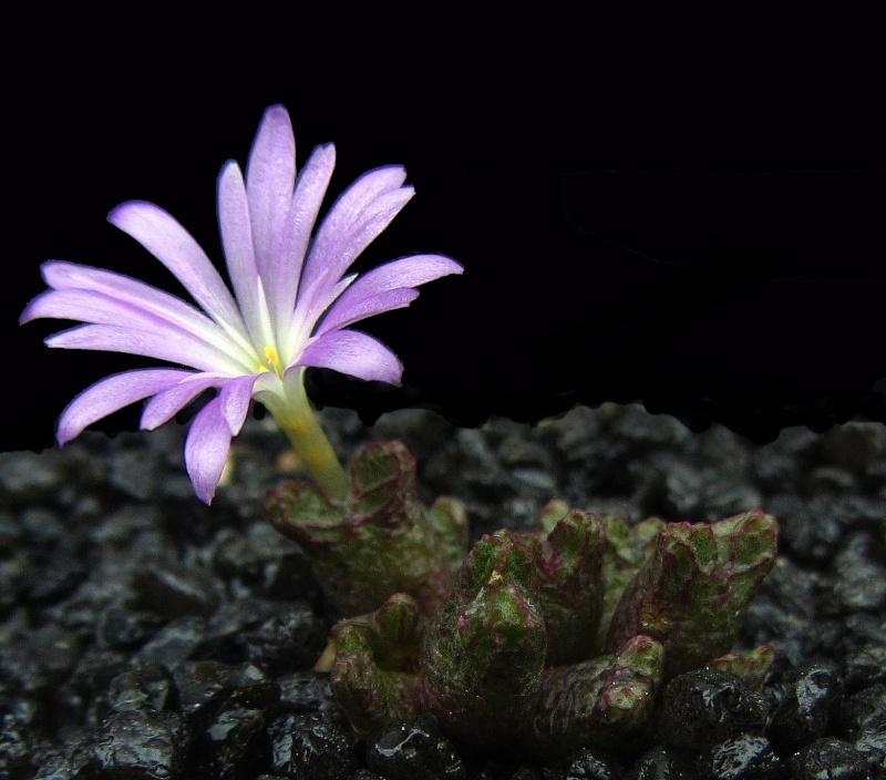 Conophytum luckhoffii Luckho10