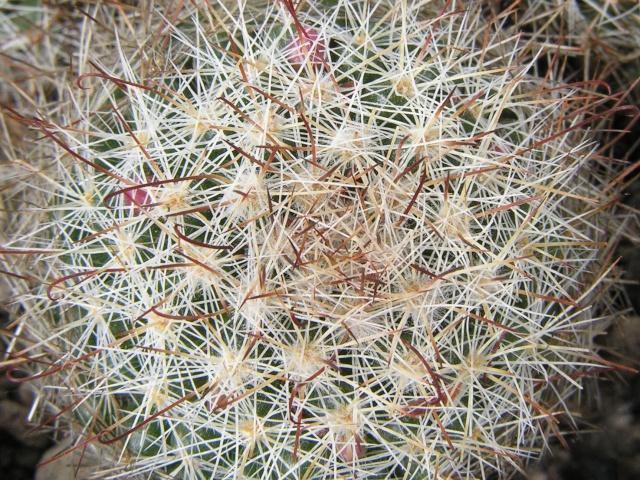 Mammillaria  manana TL 877 M_mana10