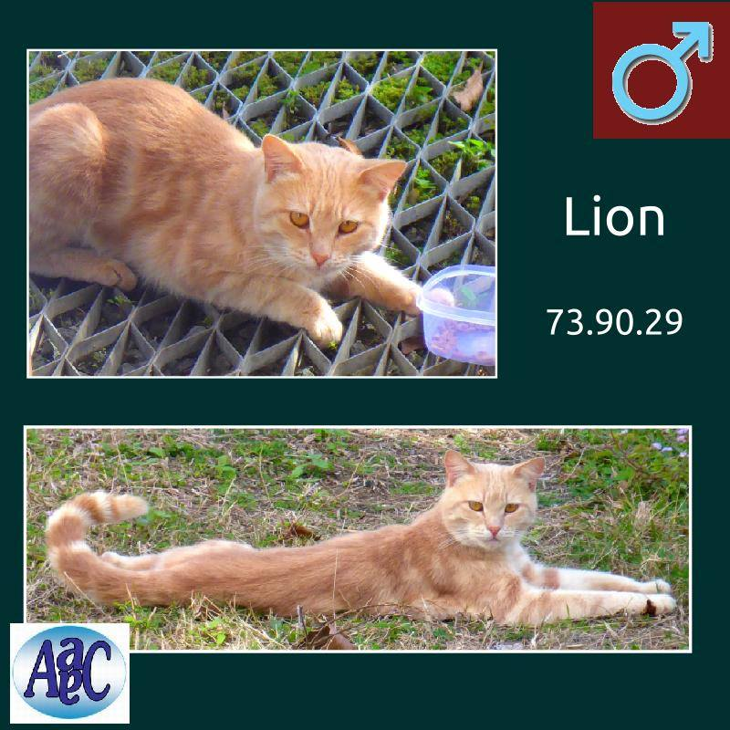Lion chat roux 10482310