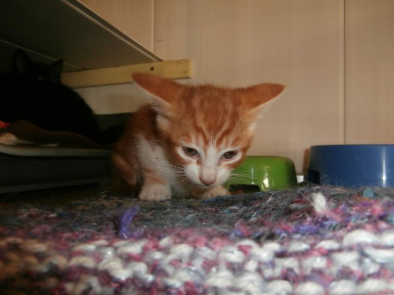 GATO (chaton mâle roux et blanc) P5311011