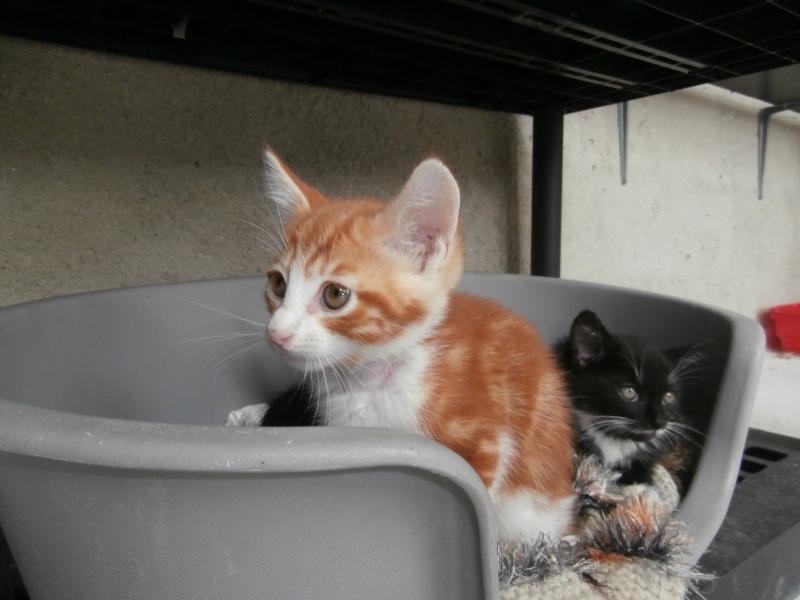 GATO (chaton mâle roux et blanc) P6141022