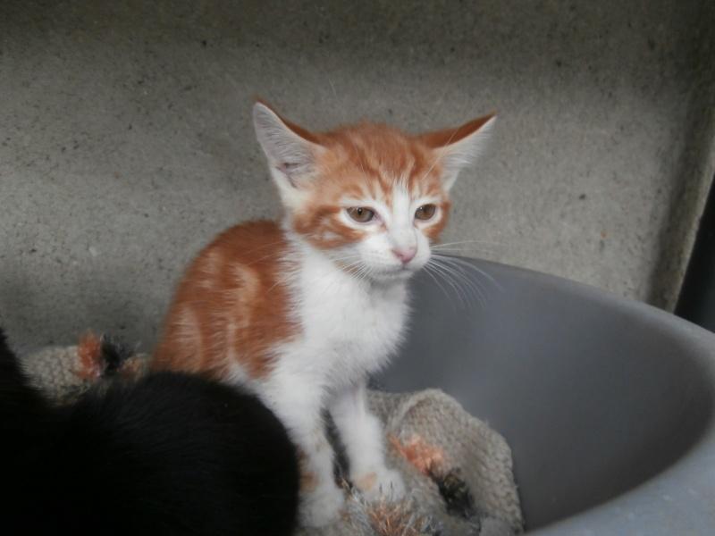 GATO (chaton mâle roux et blanc) P6141024