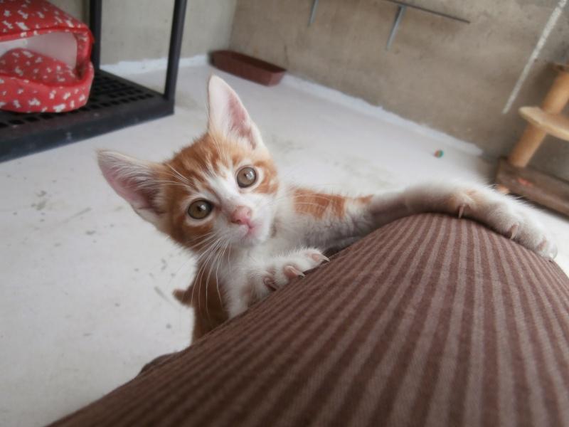 GATO (chaton mâle roux et blanc) P6211014