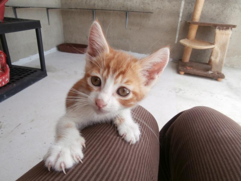GATO (chaton mâle roux et blanc) P6211015