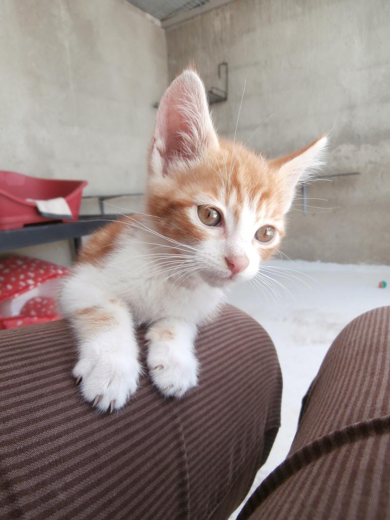 GATO (chaton mâle roux et blanc) P6211017