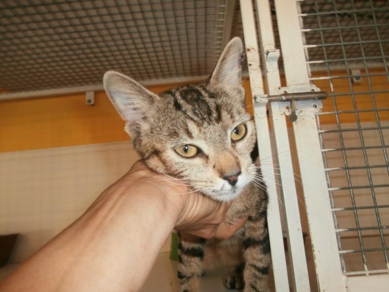 TITUS (mâle européen tigré castré) réservé P6251113
