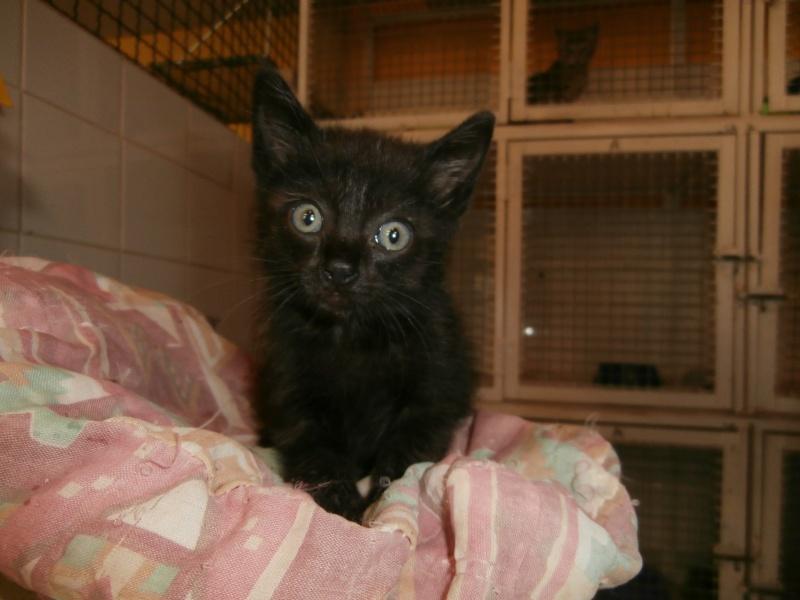 REGLISSE (chaton mâle noir) P7021219