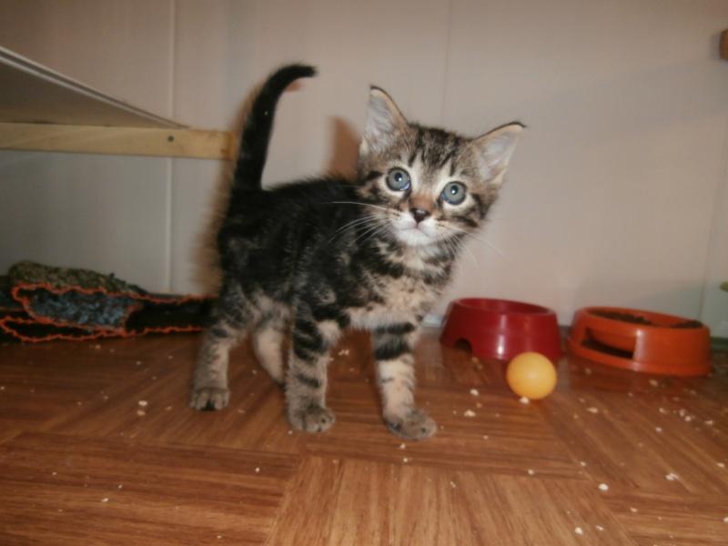 POPSY (chaton mâle tigré foncé) P7021230