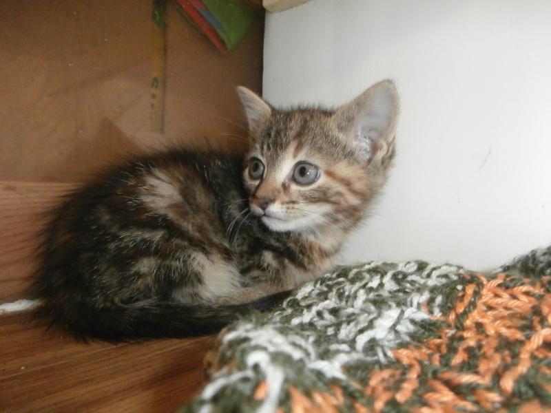 PEPITE (chatte femelle tigrée) P7021232