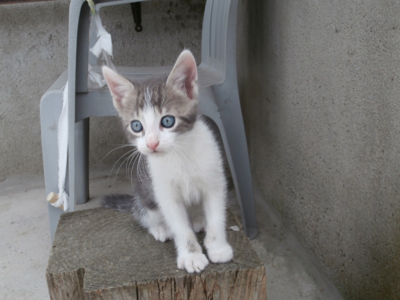 ARTIFICE (chaton gris et blanc) P7121217