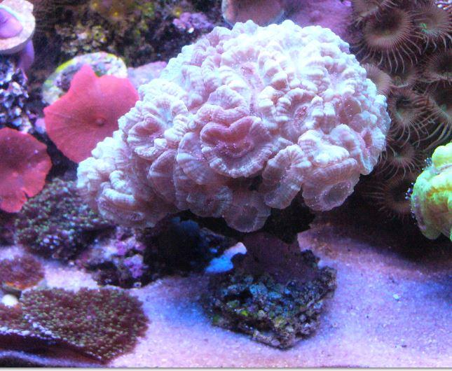 Les coraux d'Alice Carroll Caulas11