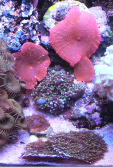 Les coraux d'Alice Carroll Disco10